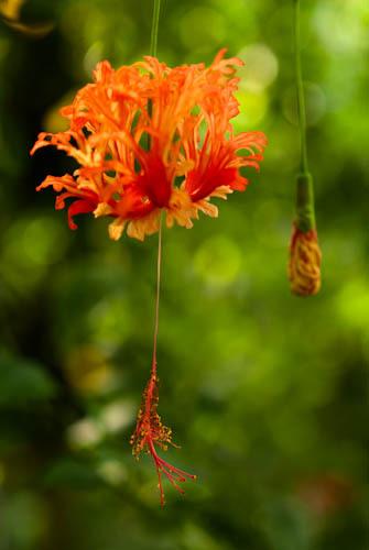 ぶら下がって咲く花